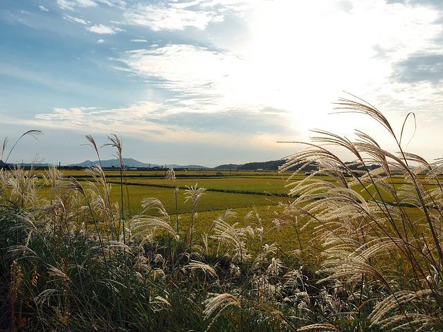 Autumn Sky, Reed, Silver Grass, Autumn, Rice Paddies