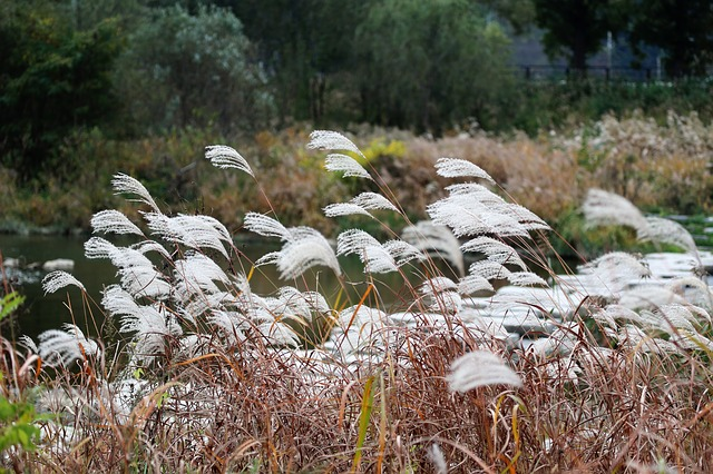 Autumn, Silver Grass, Reed, Silver Pool, Wind