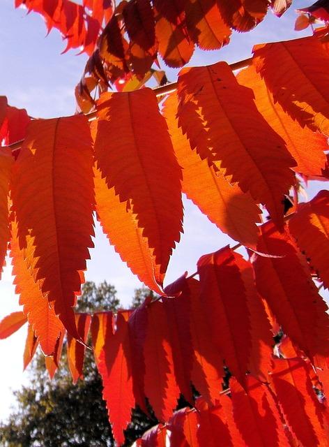 Rhus, Colorful, Autumn, Decoration, Vine, Wild, Red