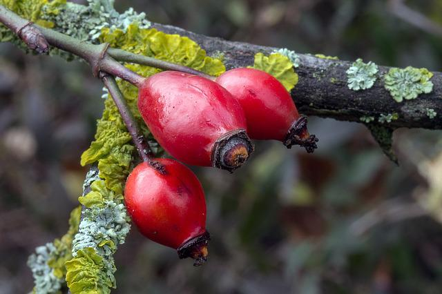 Autumn, Fruits, Rose Hip, Red, Rosa Canina