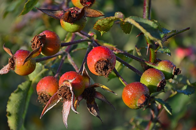 Rose Hip, Wild Rose, Roses, Fruits, Pods, Seeds, Autumn