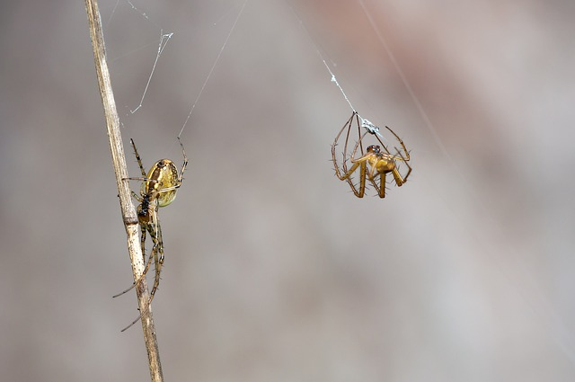 Autumn Spiders, Metellina Segmentata, Female, Males