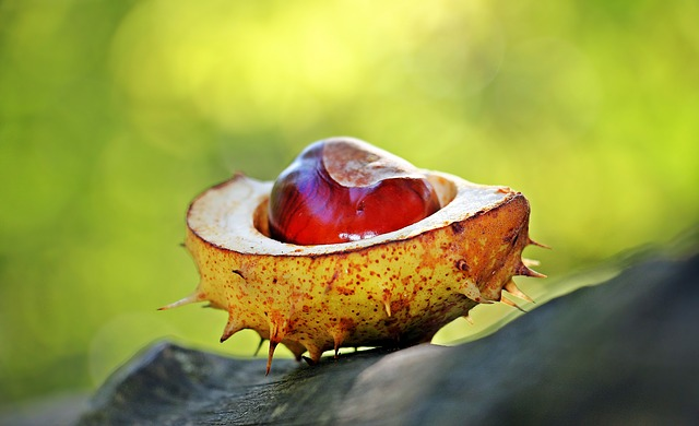 Chestnut, Autumn, Spur, Open, Open Chestnut, Shell