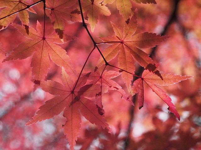 Autumnal Leaves, Autumn, Aomoriya, Star Resort, Maple