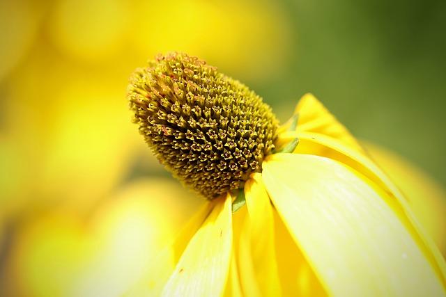 Rudbeckia, Autumn Sun, Rudbeckia Nitida, Yellow