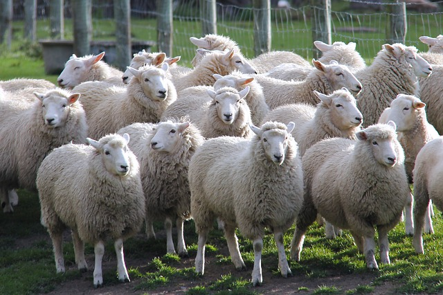 Sheep, Walter Peak Farm, Farm, Autumn, Travel
