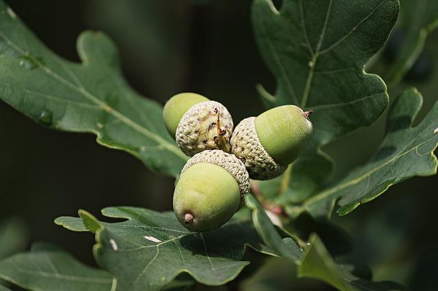 Acorns, Acorn, Oak Leaves, Tree, Autumn, Leaves, Nature