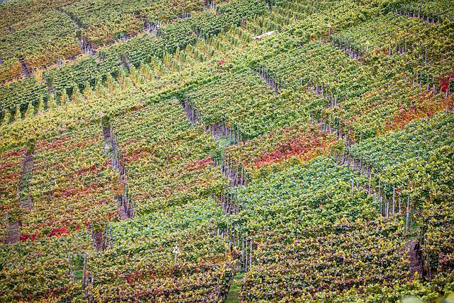 Vineyard, Autumn, Wine, Winegrowing, Vines