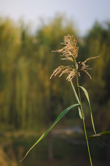 Plant, Material, Wheat, Wuxi, Autumn