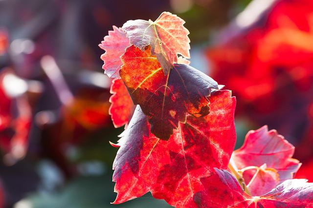 Wine, Leaf, Wine Harvest, Vineyard, Plant, Autumn