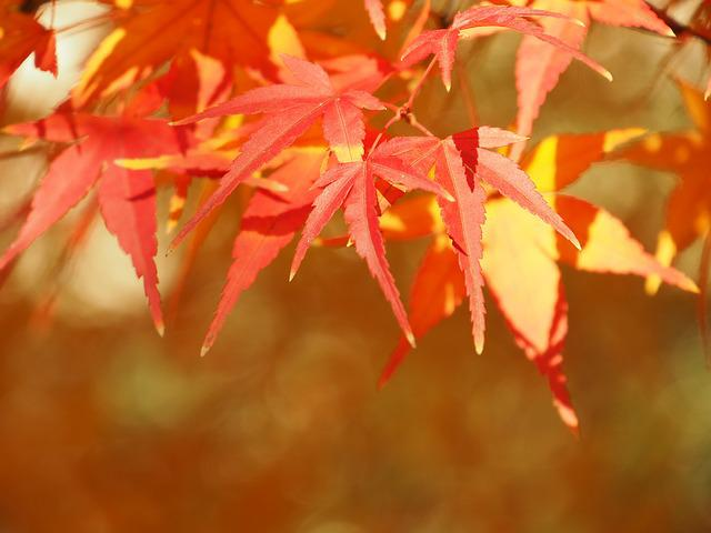 Autumnal Leaves, Maples, Maple, Autumn, Wood