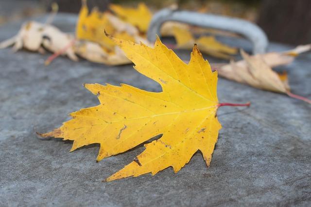 Maple Leaf, Autumn, Maple, Yellow, Leaf, Fall Foliage