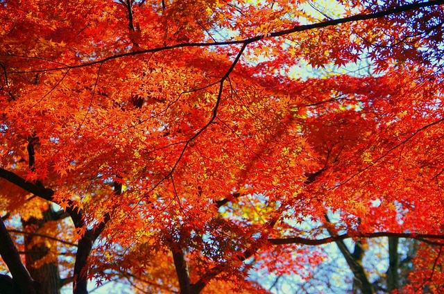 Maple, Autumn, Autumnal Leaves, Japan, Fallen Leaves