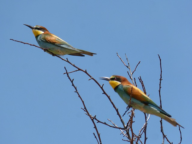 Bee-eater, Ave, Abellarol, Branch, Bee Eaters, Couple