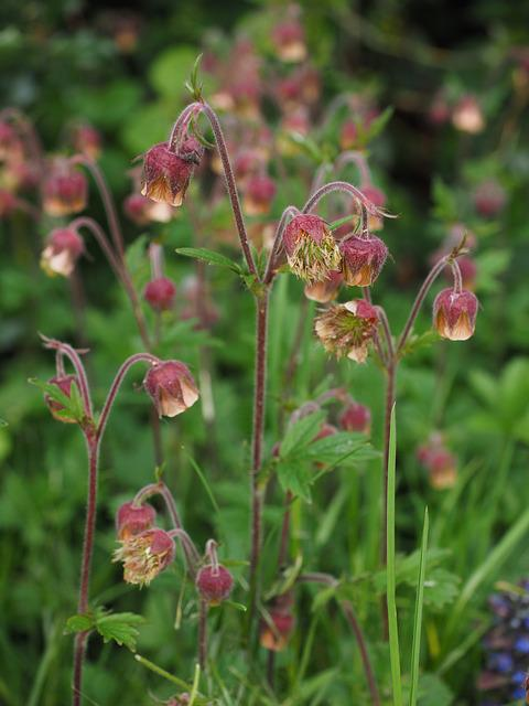 Pointed Flower, Avens, Geum Rivale, Geum