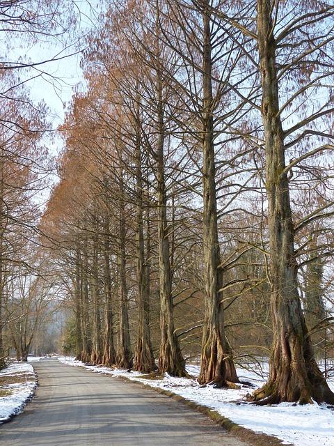 Avenue, Tree Lined Avenue, Redwood Avenue, Sequoia