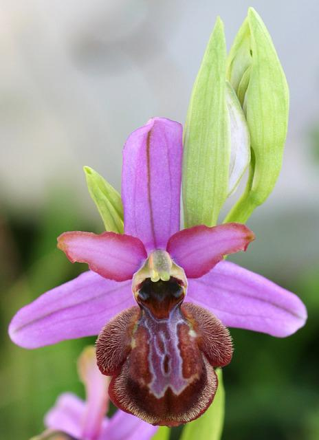 Orchid, Ophrys, Aveyron, Scrubland