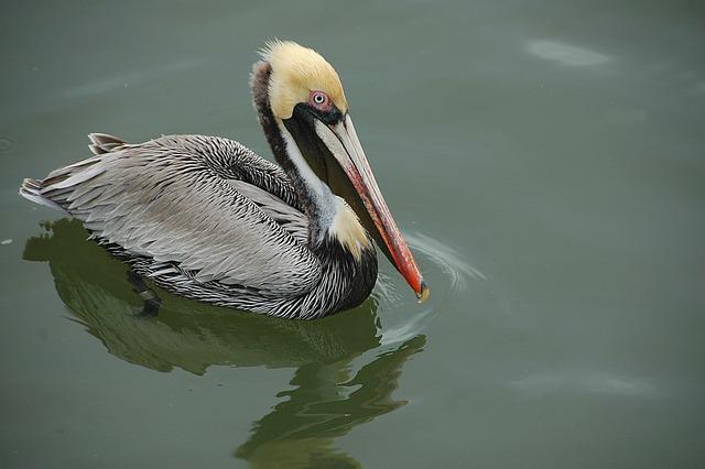 Pelican, Wading, Bird, Avian, Wildlife, Waterbird