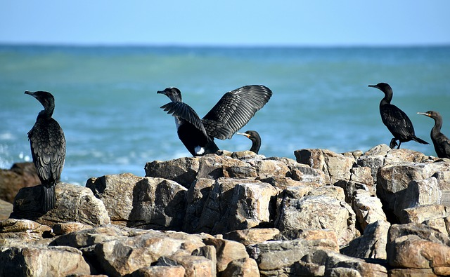 Seabirds, Cormorants, Coast, Rocky Shore, Avian, Fauna
