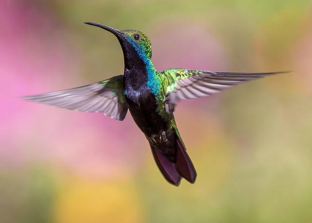Hummingbird, Bird, Flight, Avian, Feathers, Fly
