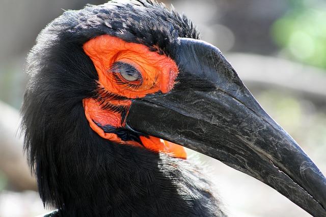 Southern Ground Hornbill, Bird, Avifauna, Black Beak