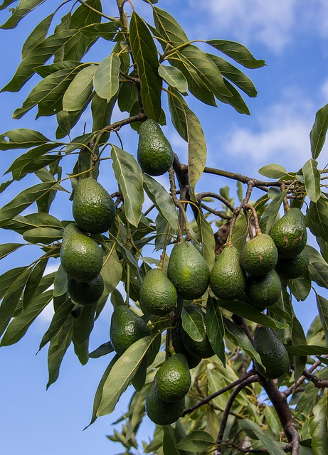Hass Avocado, Tree, Branch, Avocados, Fruit, Green, Sky