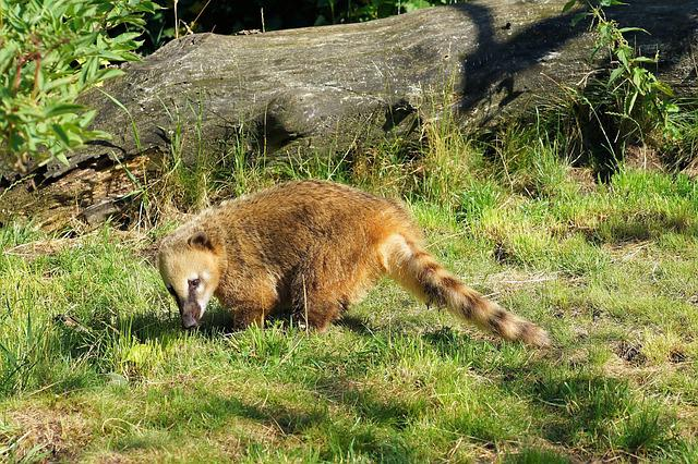 Coati, Furry, Curly Tail, Curious, Sweet, Awakened, Fur
