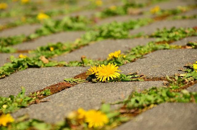 Dandelion, Patch, Crack, Assertiveness, Away, Yellow