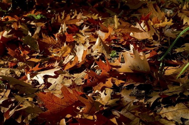 Fall Foliage, Red Oak, Colorful, Leaves, Away