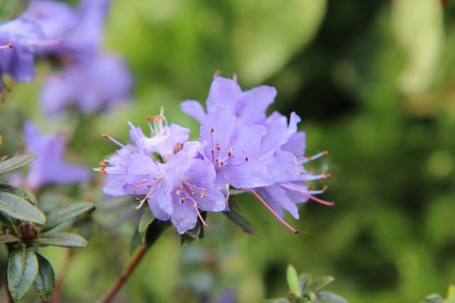 Azalea, Azalea Blue, Azalea Purple, Flowers