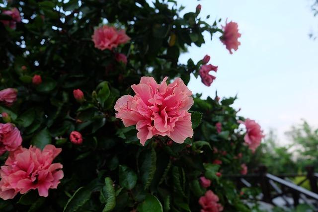 Flower, Azalea, Pink