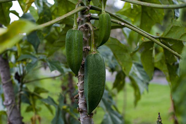 Babaco, Food, Leaf, Fruit, Nature, Plant
