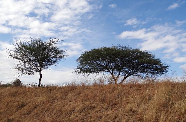 Tree, Acacia Nilotica, Babool, Hardy, Woody, Thorny