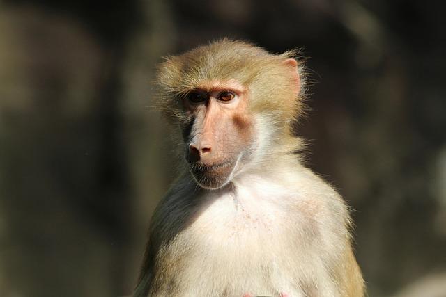 Baboon, Papio Hamadryas, Hamadryas, Primates