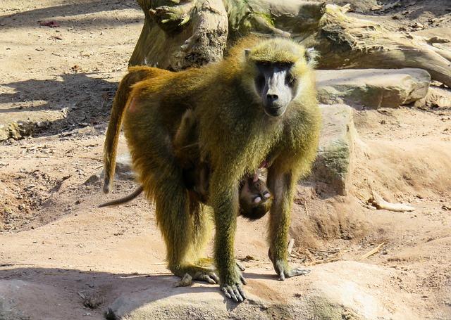 Monkey, Primate, Animal, Baboon, Suckle, Mammal