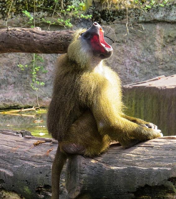 Monkey, Baboon, Roar, Tooth, Mammal, Sitting