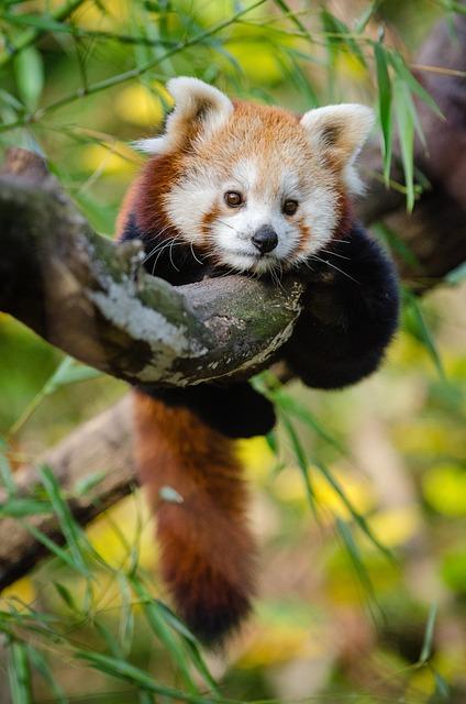 Adorable, Red Panda, Animal, Baby, Blur, Branch, Cute