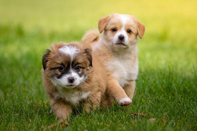 Animal, Pet, Dog, Small, Baby Animal, Puppy, Race