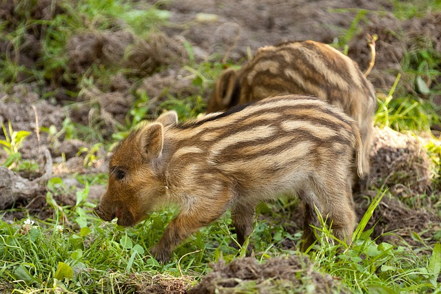 Animal, Baby, Boar, Brown, Cute, Fur, Grass, Hair, Hog