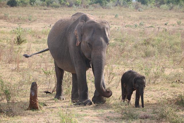 Elephant, Baby Elephant, Sri Lanka, National Park
