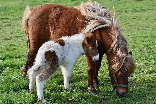 Shetland Pony, Baby Foal Shetland, Pony Shetland, Foal