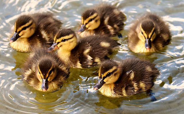 Mallard, Chicks, Baby, Swim, Small, Cute, Sweet, Funny