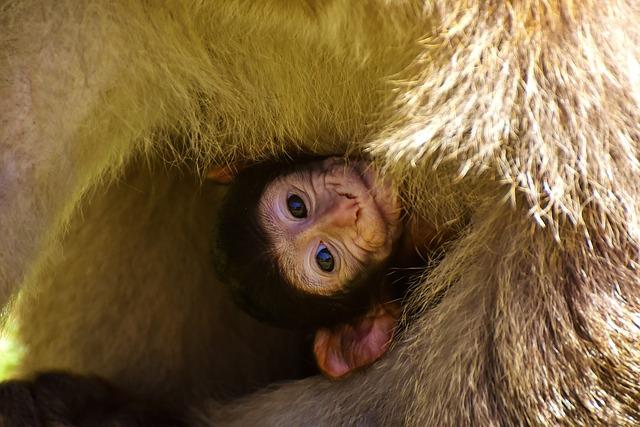 Baby Monkey, Barbary Ape, Endangered Species