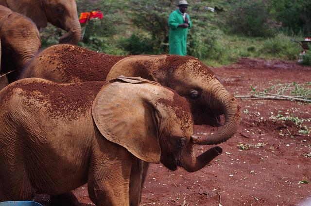 Elephant, Baby, Orphans, Kenya, Nairobi