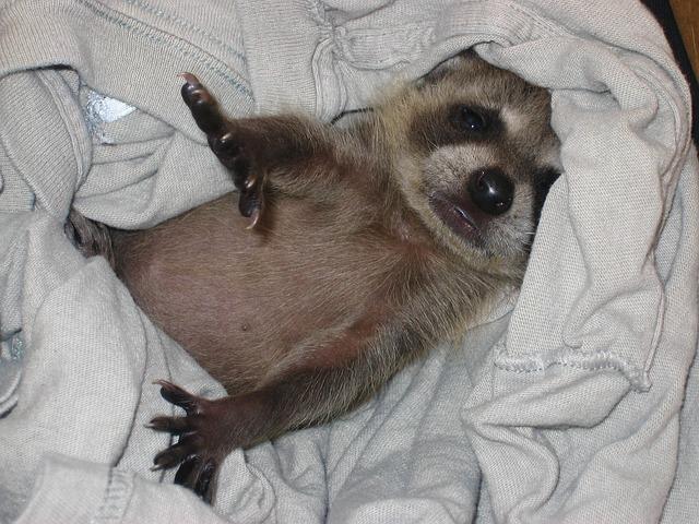 Baby Raccoon, Kit, Raccoon