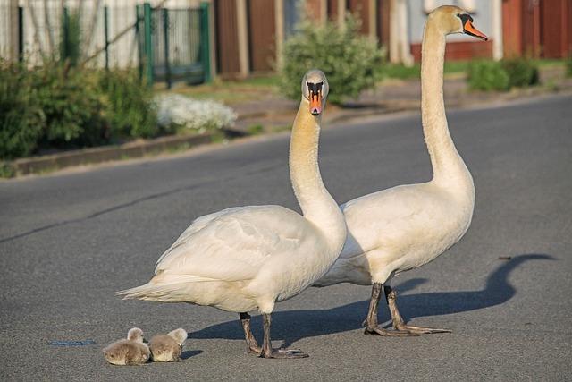 Swan Family, Baby Swans, Road, Swans, Bernhard Klepel