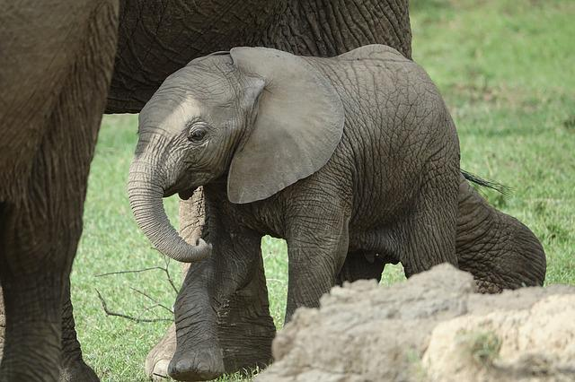 Mammal, Wildlife, Animal, Nature, Wild, Elephant, Baby