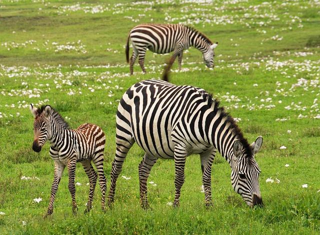 Baby Zebra, Safari, Serengeti, Tanzania, Africa, Zebra