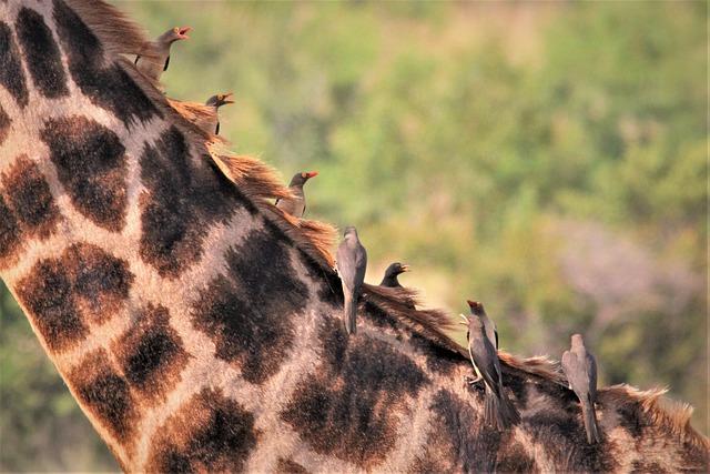 Flock, Ox Peckers, Giraffe, Back, Neck, Bird, Watching