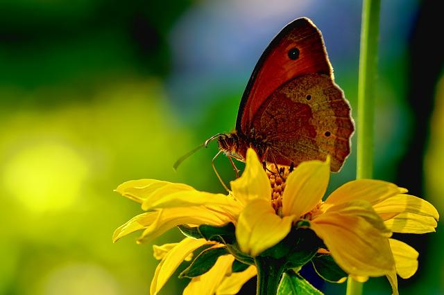Animal, Insect, Butterfly, Lycaon, Back Light, Close Up